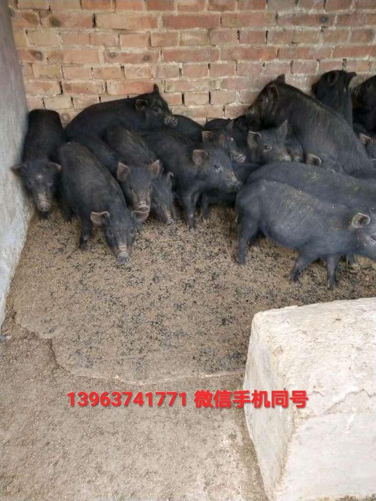 苏太黑猪养殖基地怎么联系,咨询福哥特种猪养殖